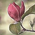 Magnolia Glow by Susan Candelario