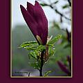 Magnolia Greeting by Randi Grace Nilsberg