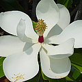 Magnolia II by Suzanne Gaff