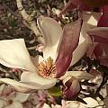 Magnolia by Katerina Naumenko