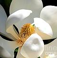 Magnolia Magic by Carol Groenen