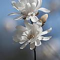 Magnolia Magnificence  3245 by Terri Winkler