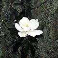 Magnolia by Marian Palucci-Lonzetta