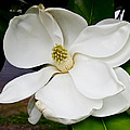 Magnolia One by Paul Anderson