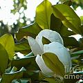 Magnolia Pair by Nathanael Smith