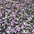 Magnolia Petals by Nancy Aurand-Humpf