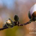 Magnolia Season II by Mary  Smyth