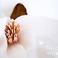 Magnolia Season IIi by Mary  Smyth