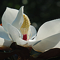 Magnolia Tiny Gem by Suzanne Gaff