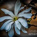 Magnolia Tree Blossum by Grace Grogan