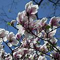 Magnolia Twig by Christiane Schulze Art And Photography