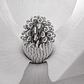 Magnolia Veil by Kelley Freel-Ebner