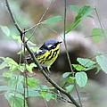 Magnolia Warbler - Bird by Travis Truelove