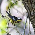 Magnolia Warbler by Doug Lloyd
