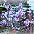 Magnolias At Home by Leanne Seymour
