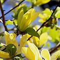 Magnolias by Becca Brann