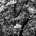 Magnolias In White by Frank J Casella