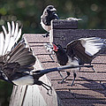 Magpie Dispute by Randall Nyhof