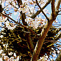 Magpie Nest In Cherry Tree by Emily Grace