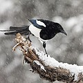 Magpie Out On A Branch by Tim Grams