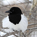 Magpie Profile by Alyce Taylor