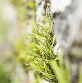 Maiden-hair Spleenwort by Anne Gilbert