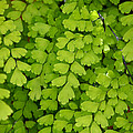 Maidenhair Fern by Art Block Collections
