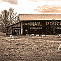 Mail Pouch Tobacco Barn And Sheep by Randall Branham