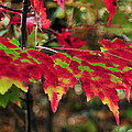 maine 37 Maple Leaf Fall Foliage by Terri Winkler