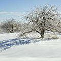 Maine Apple Trees Covered In Ice And Snow by Keith Webber Jr