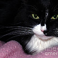 Maine Coon Eyes with Pink Blanket