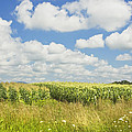 Maine Corn Field In Summer Photo Print by Keith Webber Jr