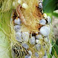 Maize Cob Infected With Corn Smut by Eric Schmelz/us Department Of Agriculture