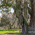 Majestic Live Oak Tree by Dale Powell