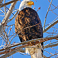 Majestic Bald Eagle by Greg Norrell