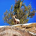 Majestic Big Horn Sheep by Image Takers Photography LLC
