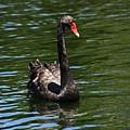 Majestic Black Swan by Darren Burton