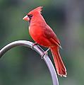 Majestic Cardinal by Carol Groenen