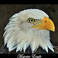 Majestic Eagle by Sara  Raber