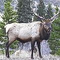 Majestic Elk by Joe Schanzer