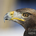 Majestic Golden Eagle by Inspired Nature Photography Fine Art Photography