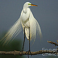 Majestic Great Egret by Bob Christopher