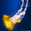 Majestic Jellyfish by Michael Ver Sprill