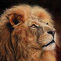 Majestic Lion by David Stribbling