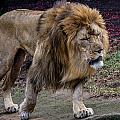 Majestic Lion by Mike Burgquist