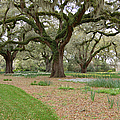 Majestic Live Oaks In Spring by Suzanne Gaff