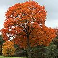 Majestic Maple by Rosanne Jordan