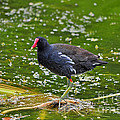 Majestic Moorhen by Al Powell Photography USA