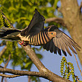 Majestic Mourning Dove  by David Lester