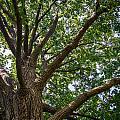 Majestic Oak by Gaurav Singh